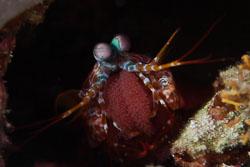 BD-150421-Maldives-7413-Odontodactylus-scyllarus-(Linnaeus.-1758)-[Reef-odontodactylid-mantis-shrimp].jpg